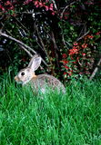 Wildlife rabbit. Stock Photos