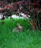 Wildlife rabbit. Stock Image