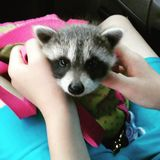 Wildlife Raccoon baby royalty free stock photography