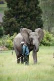 Wildlife ranger working with African elephants. Wildlife ranger with young African Elephant with ears erect Royalty Free Stock Image