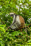 Wildlife - Red Colobus. African wildlife, a Red Colobus monkey  at Jozani National Park Zanzibar, Tanzania Royalty Free Stock Images