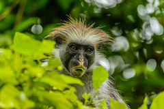 Wildlife - Red Colobus Royalty Free Stock Photos