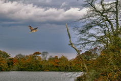 Wildlife Refuge. A bird flies over the river of a wildlife refuge Stock Photos