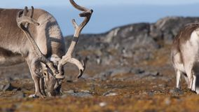 Wildlife - reindeer in natural Arctic environment stock footage