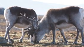 Wildlife - reindeer in natural Arctic habitat stock video footage