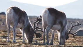 Wildlife - reindeer in natural Arctic habitat stock footage