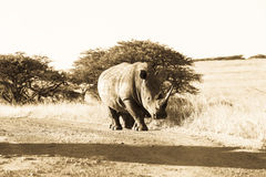 Wildlife Rhino Animal Dirt Road Grasslands Sepia Tone Vintage Stock Photos