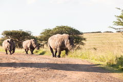 Wildlife Rhinos Dirt Wilderness. Wildlife rhinos animals wilderness reserve habitat landscape on dirt road heading for waterhole Royalty Free Stock Images