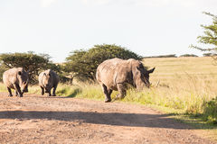 Wildlife Rhinos Dirt Wilderness. Wildlife rhinos animals wilderness reserve habitat landscape on dirt road heading for waterhole Royalty Free Stock Photo