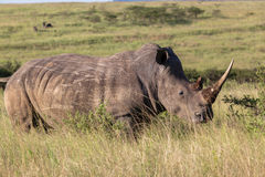 Wildlife Rhinos Grasslands Wilderness. Wildlife rhino animals wilderness reserve habitat landscape on dirt road heading for waterhole Stock Photo