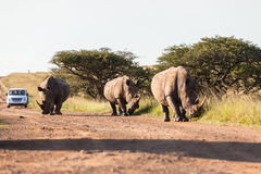 Wildlife Rhinos Tourists Wilderness Stock Photos