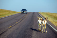 wildlife on road with car Royalty Free Stock Photo
