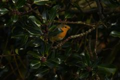Wildlife, a Robin red breast Perched on a tree. Royalty Free Stock Photos
