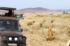Wildlife safari tourists on game drive Royalty Free Stock Photography