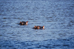 In wildlife sanctuary. In the calm lake, there is huge two hippos lurking, they are wild animals Stock Photography