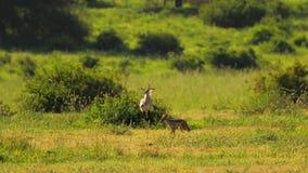 Wildlife scene of african cape fox encountering secretary bird. Wild wolf running near big bird, that intimidating foe
