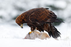 Wildlife scene with bird from winter nature. Golden Eagle with catch hare in snowy winter. Stock Photo