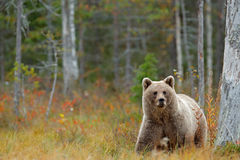 Wildlife scene from Finland near Russia bolder. Autumn forest with bear. Beautiful brown bear walking around lake with autumn colo. Ur Royalty Free Stock Photo