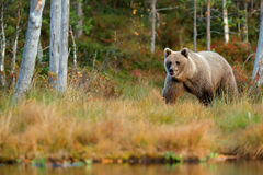 Wildlife scene from Finland near Russia bolder. Autumn forest with bear. Beautiful brown bear walking around lake with autumn colo Royalty Free Stock Images