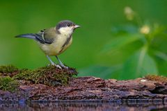 Wildlife scene from forest lake. Great Tit, Parus major, black and yellow songbird sitting in the water, nice lichen tree branch, Royalty Free Stock Image