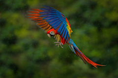 Free Wildlife Scene From Tropic Nature. Red Bird In The Forest. Parrot Flight. Red Parrot In Rain. Macaw Parrot Fly In Dark Green Veget Stock Photo - 97614950
