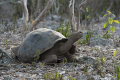 Wildlife scene of giant turtle in galapagos island Royalty Free Stock Photography