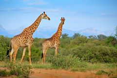 Wildlife scene from nature. Evening light Tshukudu, South Africa. Two giraffes near the forest, Drakensberg Mountains in the stock photos