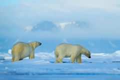 Wildlife scene with two polar bears from the Arctic. Polar bear couple cuddling on drift ice in Arctic Svalbard. Bear with snow an