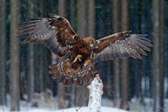 Wildlife scene from wild nature. Flying birds of prey golden eagle with large wingspan, photo with snow flake during winter, dark Stock Photography