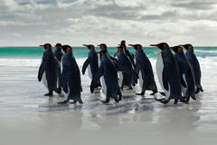 Wildlife scene from wild nature. Group of King penguins, Aptenodytes patagonicus, going from white sand to sea, artic animals in t. Wildlife scene from wild Royalty Free Stock Image