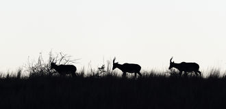 Wildlife Silhouette Stock Images