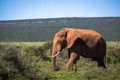 Wildlife in South Africa. Elephants inside Addo Elephant National Park in South Africa Royalty Free Stock Photos