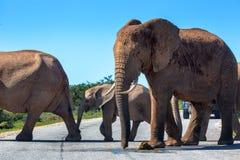 Wildlife in South Africa. Elephants inside Addo Elephant National Park in South Africa Royalty Free Stock Image