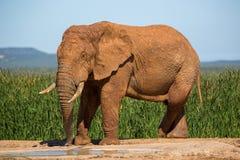 Wildlife in South Africa. Elephants inside Addo Elephant National Park in South Africa Stock Photos