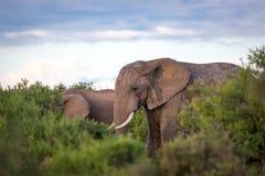 Wildlife in South Africa. Elephants inside Addo Elephant National Park in South Africa Stock Photo