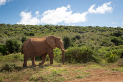 Wildlife in South Africa. Elephants inside Addo Elephant National Park in South Africa Stock Image