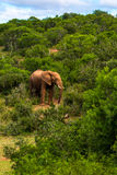 Wildlife in South Africa. Elephants inside Addo Elephant National Park in South Africa Royalty Free Stock Images