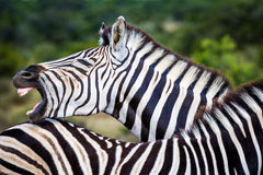 Wildlife in South Africa Royalty Free Stock Images