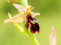 Wildlife Spider Bee Orchid Stock Photography