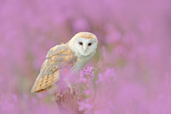 Wildlife spring art scene from nature with bird. Owl in meadow habitat. Beautiful nature scene with owl and flowers. Barn Owl in l. Wildlife spring art scene Royalty Free Stock Photo