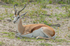 Wildlife - Springbok Royalty Free Stock Photography