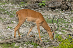 Wildlife - Springbok Stock Image