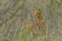 Wildlife - Steenbok Royalty Free Stock Image