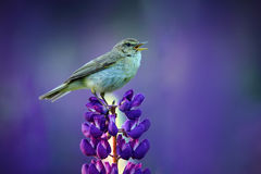 Wildlife summer scene. Bird with open bill sitting on the bloom. Common Chiffchaff, Phylloscopus collybita, singing singing in the Royalty Free Stock Photography