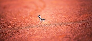 First steps of a little bird into the wild, a portrait of Red-wattled Lapwing chick taking first steps on the red dirt in the royalty free stock image