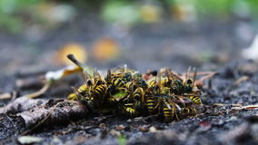 Wildlife swarm wasps eat rotten pear or apple on stock video