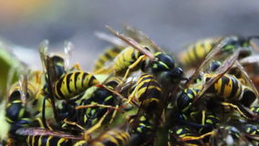 Wildlife swarm wasps eat rotten pear or apple on stock footage