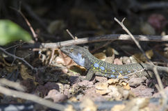 Wildlife Tenerife Lizard Royalty Free Stock Photography