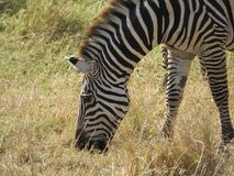 Wildlife, Terrestrial Animal, Zebra, Fauna Stock Photography