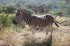 Wildlife, Terrestrial Animal, Zebra, Fauna Royalty Free Stock Photos